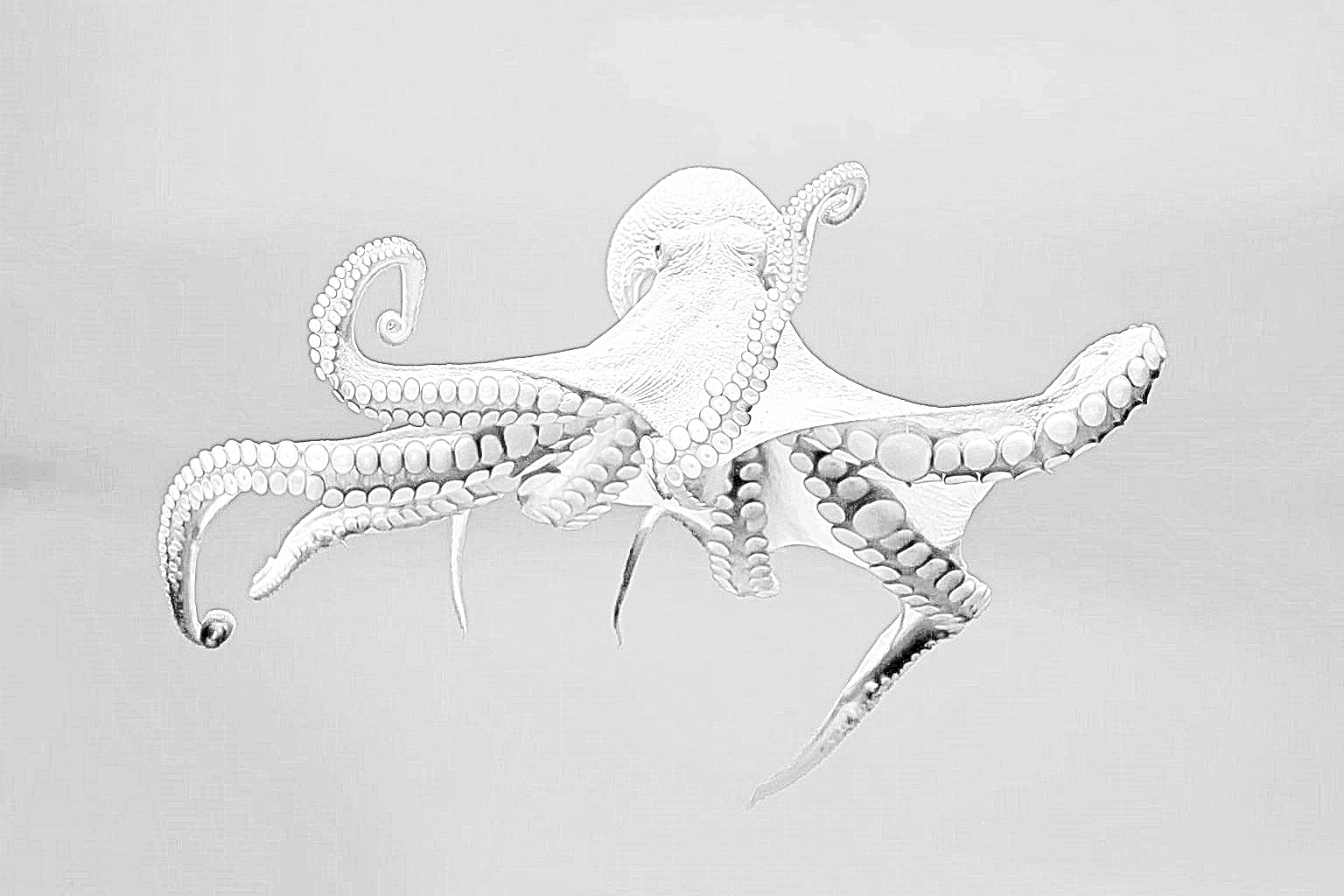 """Octopus image processed to look like a pencil sketch"""